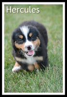 Hercules Male Bernese Mountain Dog $1300