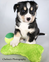 Kai Male Bernese Mountain Dog Husky Mix $1100