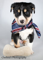 Koda Male Bernese Mountain Dog Husky Mix $1100