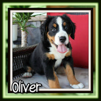 Oliver Male Bernese Mountain Dog $2600