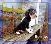 Bernie: Male Cavalier Mix (Full Price $700.00) Deposit