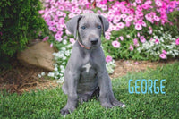George: Great Dane male Puppy (Full Price $1450.00) Deposit