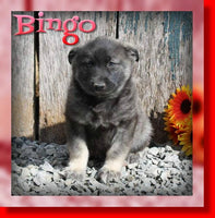 Bingo Male AKC Norwegian Elkhound $850
