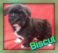 Biscut: Female AKC Havanese  (Full Price $1000.00) Deposit