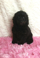 Black Miniature Poodles for sale