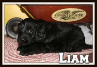 Liam Male Mini Labradoodle $800
