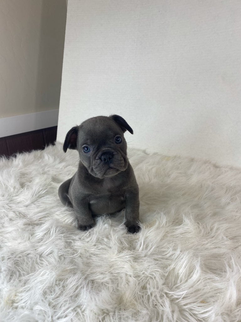 Emery Male AKC French Bulldog $4000