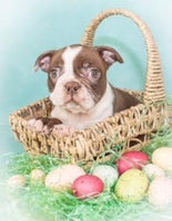 Boston Terriers for Sale in Ohio | That Doggy in the Window