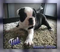 Tut: Male Boston Terrier AKC (Full Price $850.00) Deposit