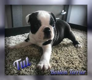 Boston Terrier for sale in Pittsburgh