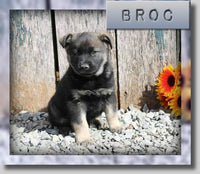 Broc Male AKC Norwegian Elkhound $850