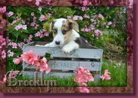 Pembroke Welsh Corgi Puppy