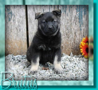 Brutus Male AKC Norwegian Elkhound $850