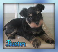 Buster: Male AKC Mini Schnauzer (Full Price $1150.00) Deposit