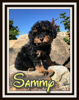 Sammy Male Cavapoo $3500