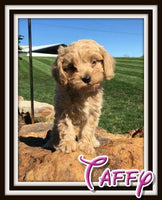 Taffy Female Cavapoo $3500