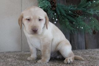 Chico Male Labrador Retriever $450