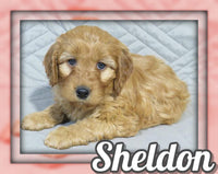 Sheldon Male Mini Irishdoodle $1095