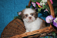Calvin: Male Shihtzu (Full Price $799.00) Deposit