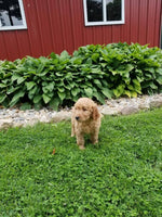 Goldendoodle For Sale in Ohio