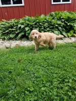 Goldendoodle Puppies for sale near me