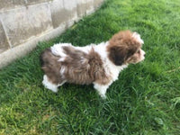 cavachon puppies for sale in Ohio
