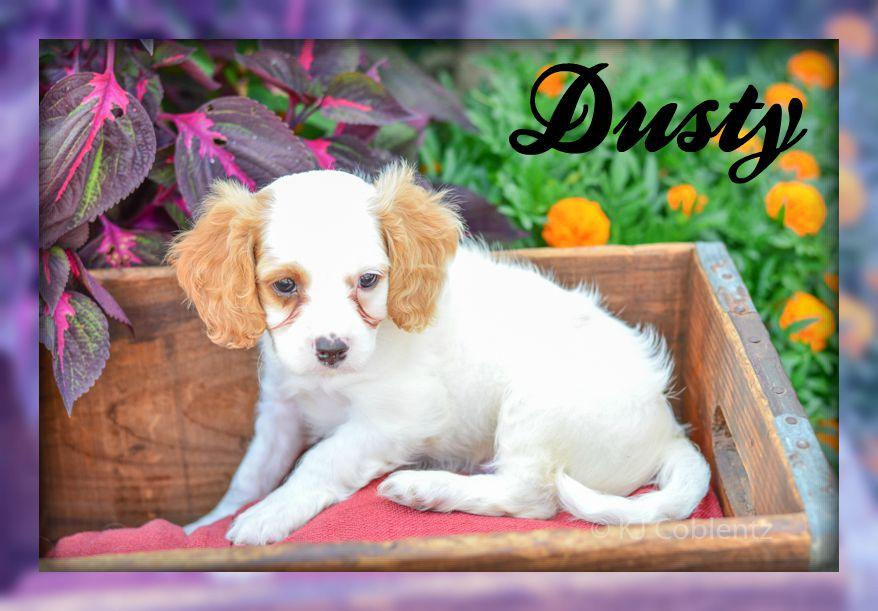 Cavachon Puppy for Sale In Pittsburgh