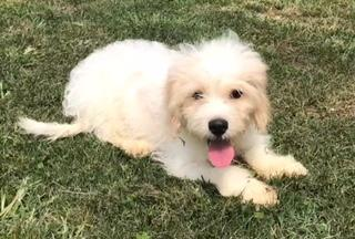 Cavachon Puppies for sale in Pittsburgh