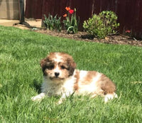 Cavalier King Charles in Ohio