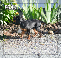 Peas Female ACA Cavalier King Charles $2600