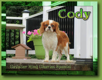 Cody Male Cavalier King Charles Spaniel $1200