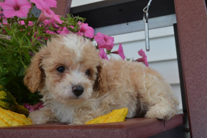 Julie Female Cavapoo $1100