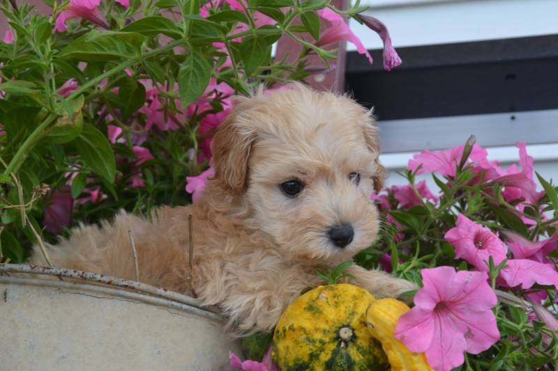 Joy Female Cavapoo $1100