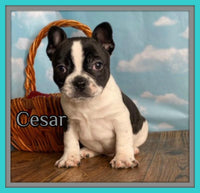 Cesar Male Frenchton $1400