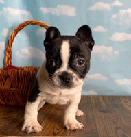 Cesar Male Frenchton $1250