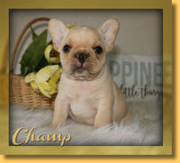 Champ AKC Male French Bulldog $2200