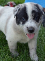 Male Blue Heeler Mix puppy for sale