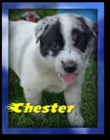 Chester Male Heeler Mix $350