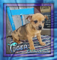 Tiger Male Chihuahua Puppy $400.00