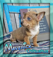Maverick Male Chihuahua Puppy $350