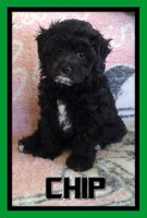 Chip Male Shihpoo $575