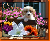 Cavachon | cavachon puppies for sale in ohio | That Doggy in the Window