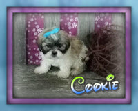 Cookie male Teddy Bear Shih-Chon (Full Price $599.00) Deposit