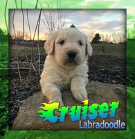 Cruiser: Male F1B Labradoodle (Full Price $1250) Deposit