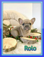 Rolo AKC Male French Bulldog $3200