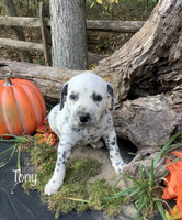 dalmatian puppies for sale in ohio