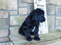 Russell: Male Newfypoo Puppy (Full Price $1000.00) Deposit