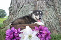 Sky Female Pomsky $599