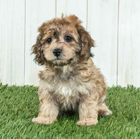 Melvin Male Cockapoo $1800