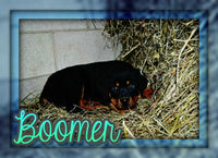 Boomer Male Rottweiler (Full Price $700.00) Deposit